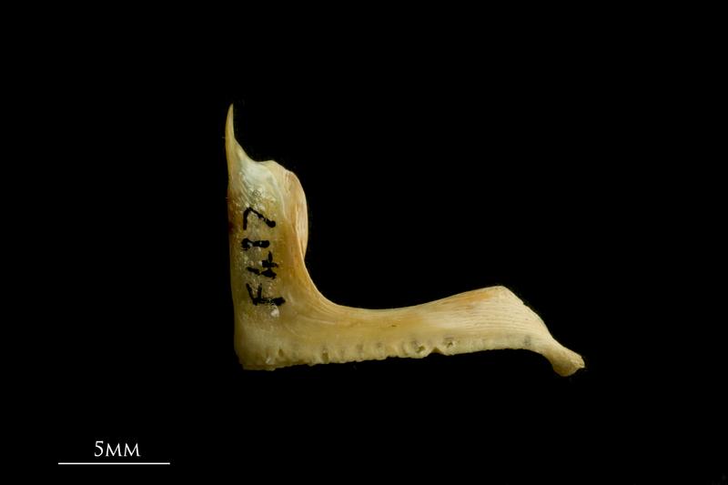 Red seabream premaxilla lateral view