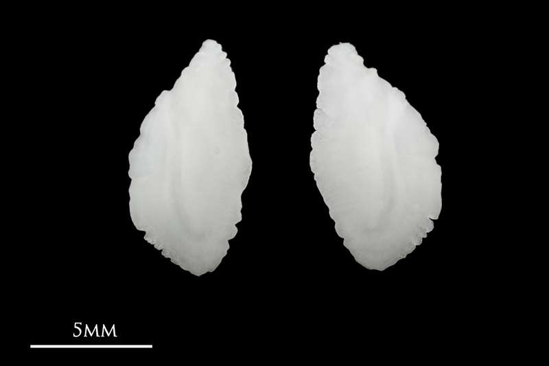 Red seabream otolith(s) detail view