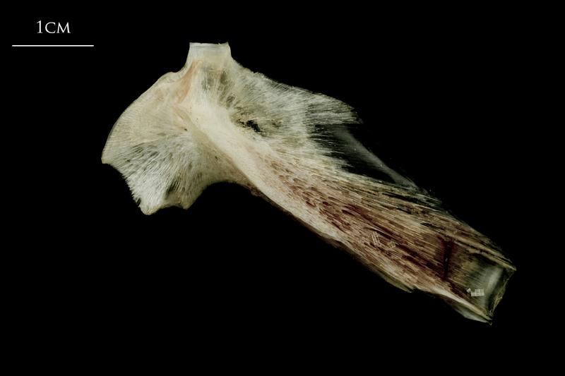 Atlantic halibut hyomandibular lateral view