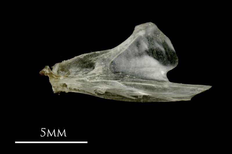 Sandsmelt dentary lateral view