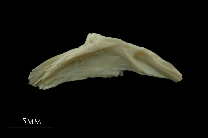 Dragonet preopercular lateral view