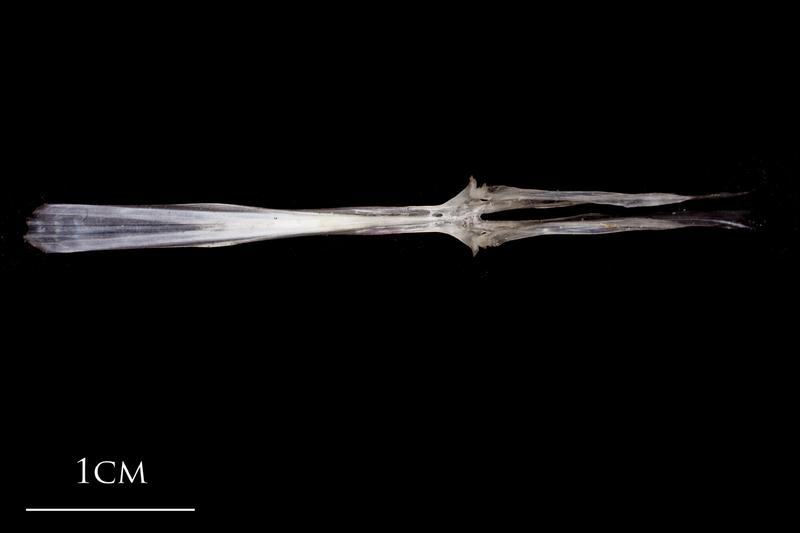 Atlantic herring parasphenoid dorsal view