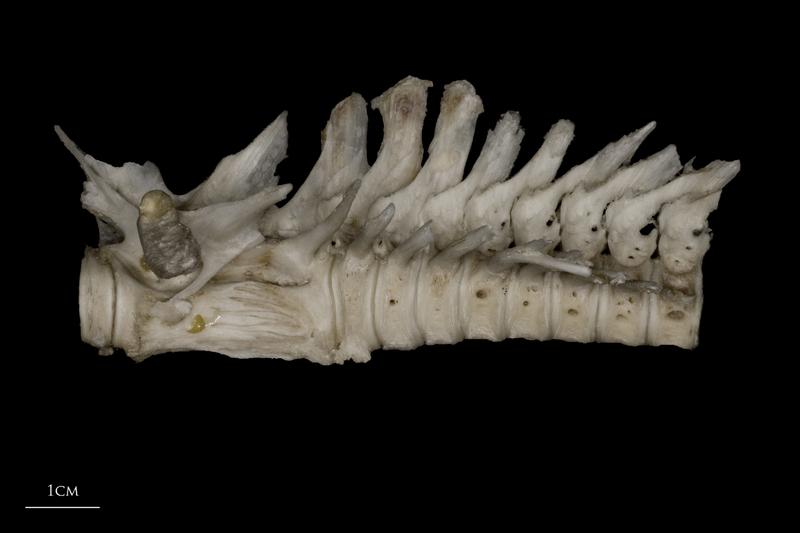 Wels catfish precaudal vertebra lateral view