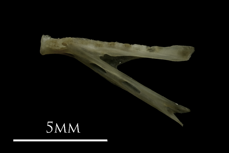 Eelpout dentary lateral view