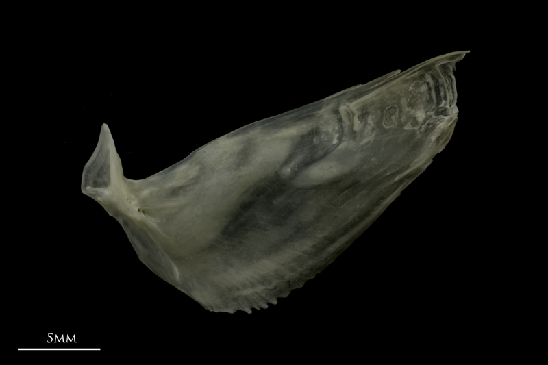 Zander subopercular lateral view