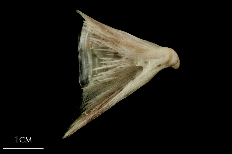 Atlantic halibut quadrate lateral view
