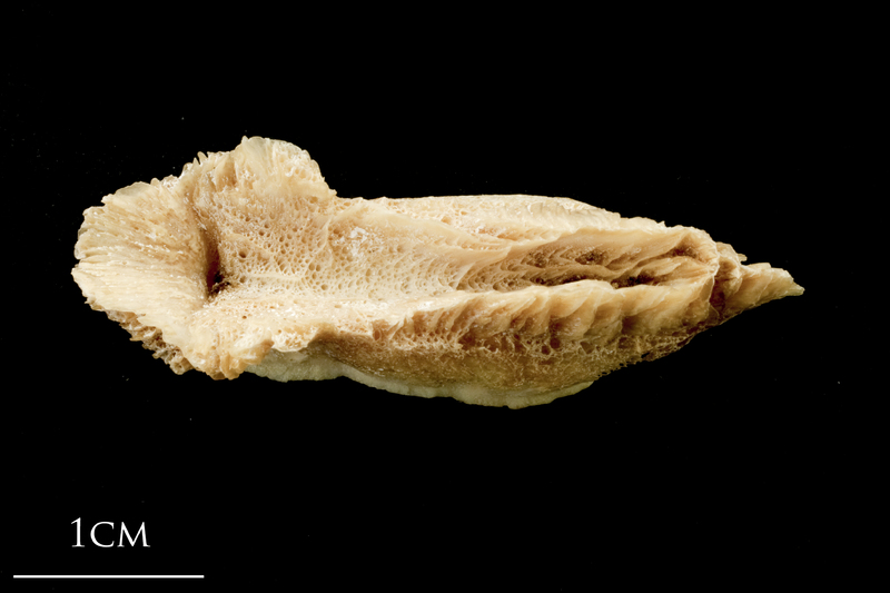 Catfish vomer ventral view