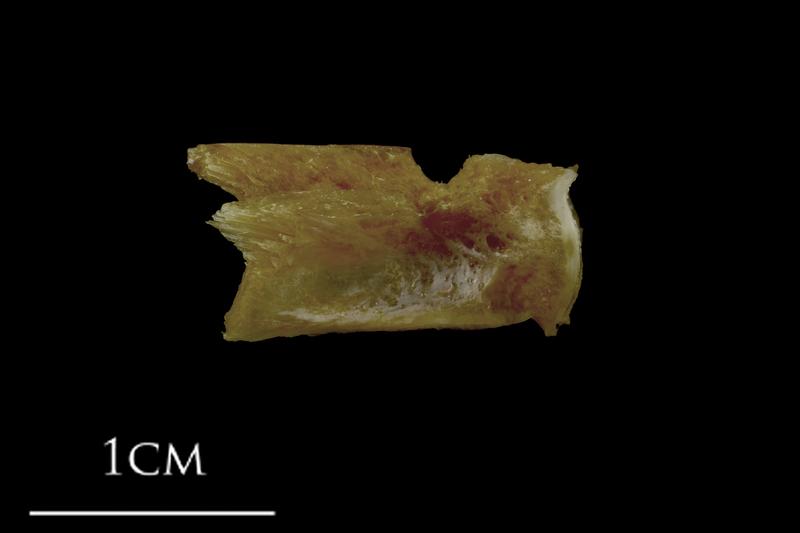 Spanish mackerel basioccipital lateral view