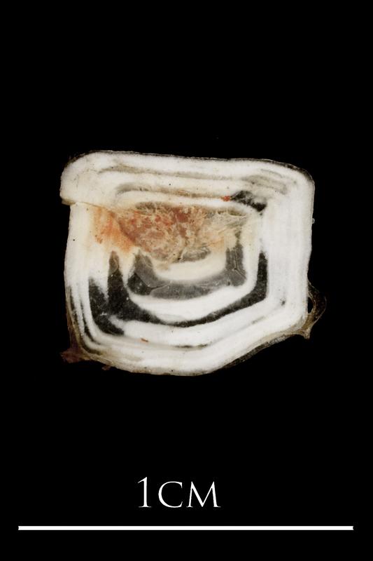 Sea scorpion scute medial view