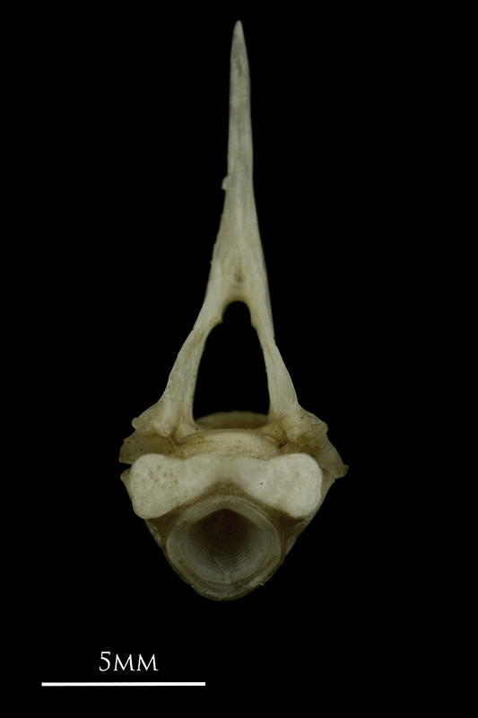 Common pandora first vertebra anterior view