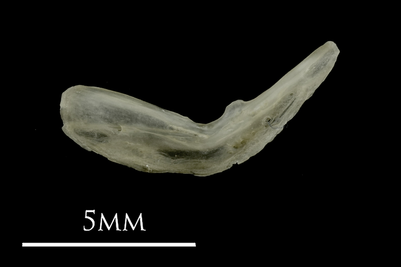 Eelpout preopercular lateral view
