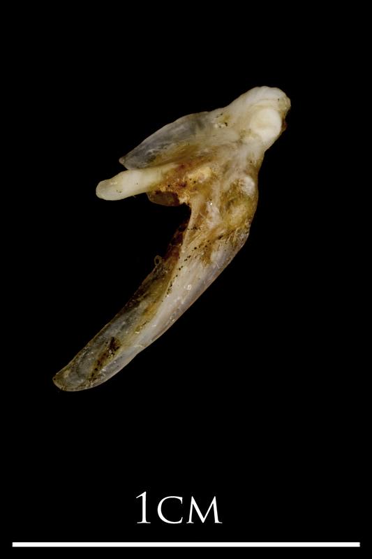 Sea scorpion posttemporal lateral view