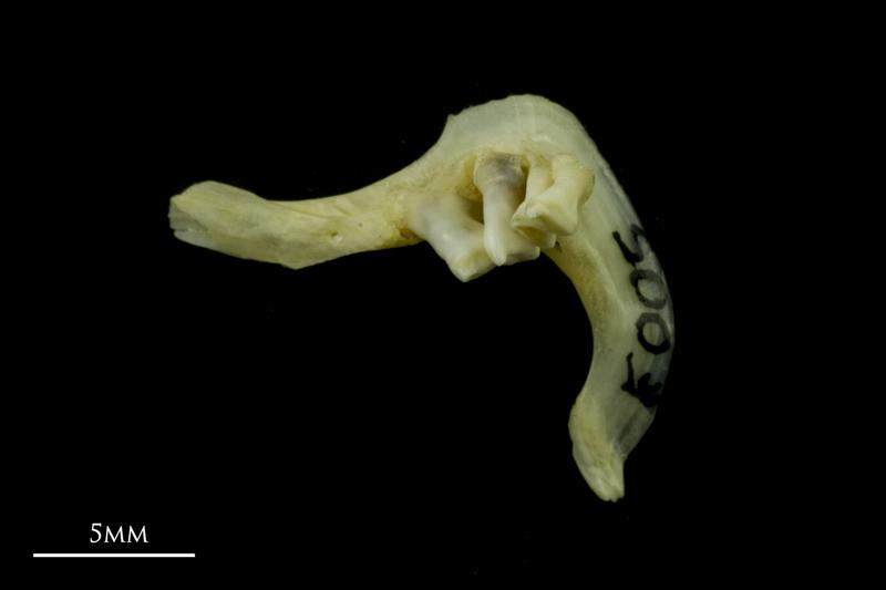 Tench pharyngeal dorsal view