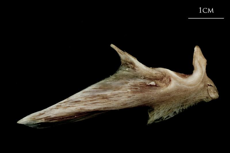 Atlantic halibut articular lateral view