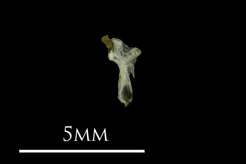 Three-spined stickleback hyomandibular medial view