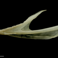 Haddock dentary lateral view