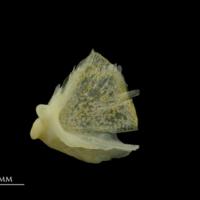 Gilthead seabream quadrate lateral view