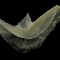 Burbot preopercular lateral view