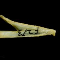 Greater forkbeard dentary medial view