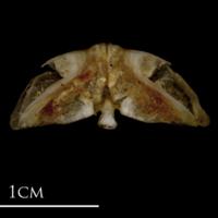 Sea scorpion vomer ventral view