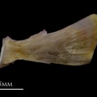 Tub gurnard ultimate vertebra lateral view
