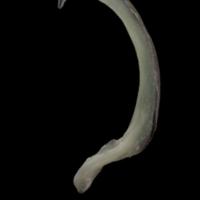 European eel subopercular lateral view