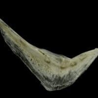 Common pandora preopercular medial view