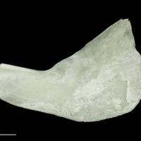 Freshwater bream subopercular medial view