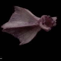 Wels catfish for assessment dorsal view