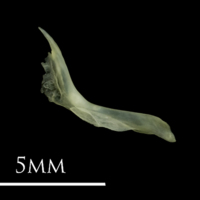 Butterfish cleithrum medial view