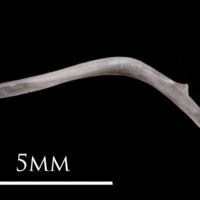 European eel maxilla medial view