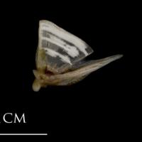 Sea scorpion quadrate lateral view