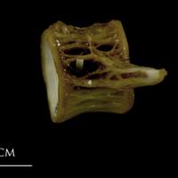 European conger precaudal vertebra lateral view