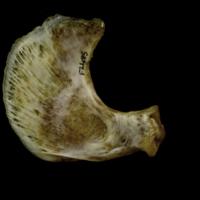 European conger opercular medial view