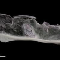 Parrot fish subopercular medial view
