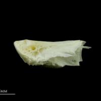 European seabass basioccipital lateral view