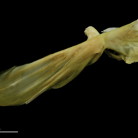 John dory maxilla lateral view