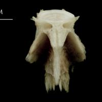 Atlantic halibut basioccipital dorsal view
