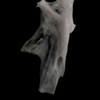 Parrot fish hyomandibular lateral view