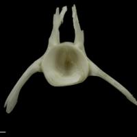Burbot precaudal vertebra anterior view