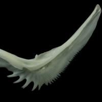 European seabass preopercular lateral view