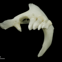 Roach pharyngeal dorsal view