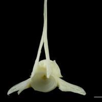 Pollack precaudal vertebra anterior view