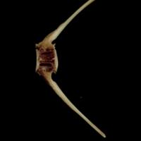 Turbot caudal vertebra lateral view