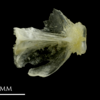 Ruffe basioccipital dorsal view