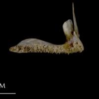Sea scorpion premaxilla medial view