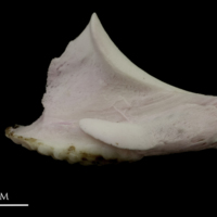 Parrot fish pharyngeal lateral view