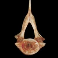 Sea scorpion precaudal vertebra anterior view