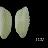 Atlantic cod otolith(s) view 2