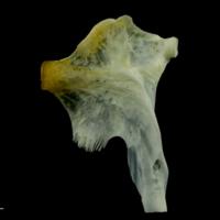 European seabass hyomandibular lateral view